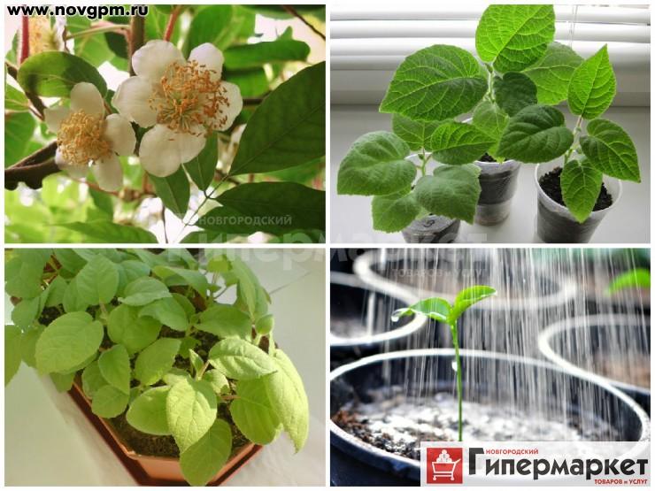 Как вырастить киви в домашних условиях чтобы были плоды
